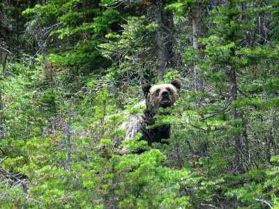 grizzlybären auf inseln